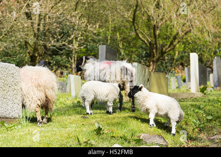 Sheep grazing around the gravestones in the churchyard of St. Peter's church, the village of Walsden near the - Stock Image