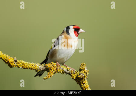 Goldfinch, European, Latin name Carduelis carduelis, perched on a lichen covered twig against a green background - Stock Image