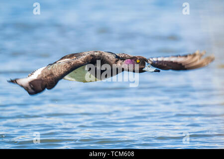 Closeup of a male tufted duck, Aythya fuligula, in flight low above water - Stock Image