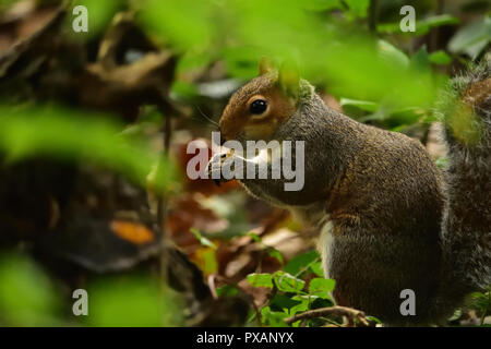 A Grey Squirrel Foraging - Stock Image