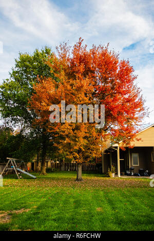 Red Maple, Acer rubrumn, A rubrum, 'autumn blaze' cultivar in the yard of a home in Wichita, Kansas, USA. - Stock Image