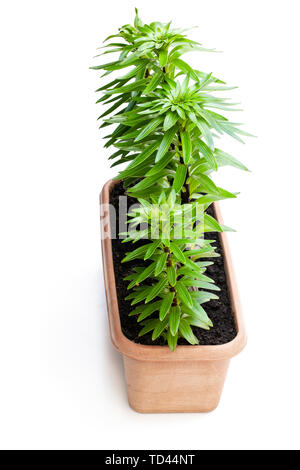 Little  lily flower sprouts in garden pot isolated on white - Stock Image
