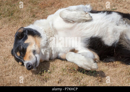 Hindhead, UK. 7th July, 2018.  After weeks with no rain and as the hot weather and high temperatures continue, Cassie the collie enjoys the sun on the dry parched lawn.  Credit: Susan Norwood/ Alamy Live News - Stock Image