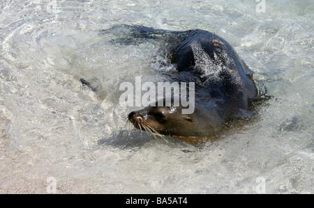 Galapagos Sea Lion, Zalophus wollebaeki, Espanola Island, Galapagos Archipelago, Ecuador - Stock Image