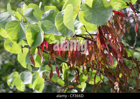 Seed Pods of the Judas Tree, Cercis siliquastrum, Fabaceae. - Stock Image