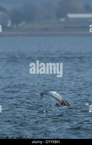 Bottlenose dolphin catching salmon in the Moray Firth - Stock Image