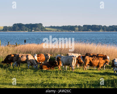 Cows grazing at the waterfront,  Bodden landscape near Zingst,  reed along the waterfront, Zingst,  Baltic Sea, - Stock Image