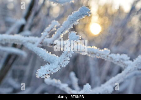 Delicate frost crystals growing on twigs are illuminated by the golden light of the low winter sun on a cold day in northern Sweden. - Stock Image