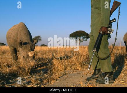 BLACK RHINOCEROS      Diceros bicornis  under round-the-clock guard against threat of poaching Zimbabwe, Africa. - Stock Image