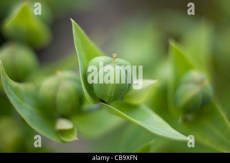 Caper Spurge Euphorbia Lathyris - Stock Image