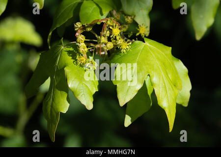 Field Maple (Acer campestre) flowers, seeds and fresh leaves - Stock Image