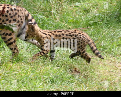 African Serval (Leptailurus serval) cub, walking with his mother - Stock Image