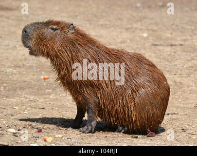 Capybara at Tropical Wings Zoo, Chelmsford, Essex, UK. This zoo closed in December 2017. - Stock Image