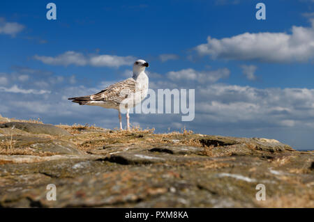 Juvenile Great black-backed gull Larus marinus on rock wall at Crail Harbour Scotland UK with blue sky and clouds - Stock Image