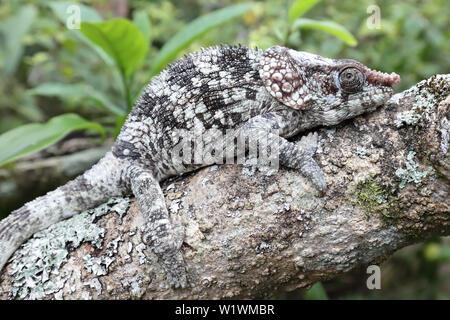 Short-horned Chameleon Calumma brevicornis - Stock Image