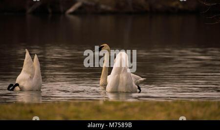 swans - Stock Image