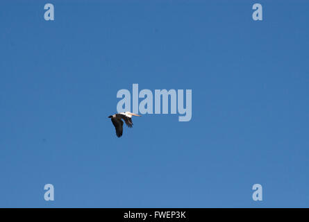 Australian pelican in full flight against a deep blue day time sky. - Stock Image