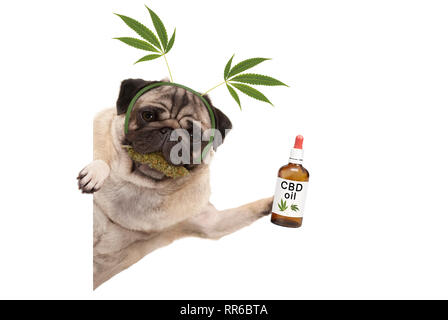 cute smiling pug puppy dog holding up bottle of CBD oil, wearing marijuana hemp leaf diadem, chewing on cannabis flowers. isolated on white background - Stock Image