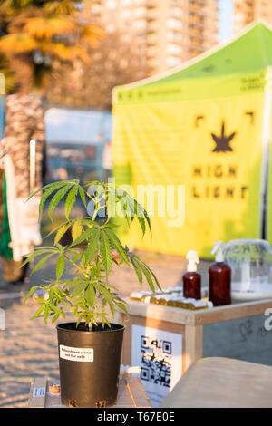 VANCOUVER, BC, CANADA - APR 20, 2019: A solitary marijuana plant in front of a vendor at the 420 festival in Vancouver. - Stock Image