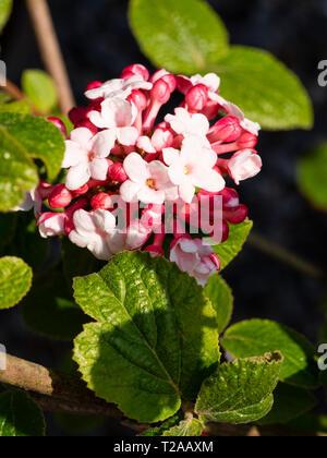 Globular spring cluster of fragrant tubular flowers of the deciduous shrub, Viburnum x carlesii 'Diana' - Stock Image