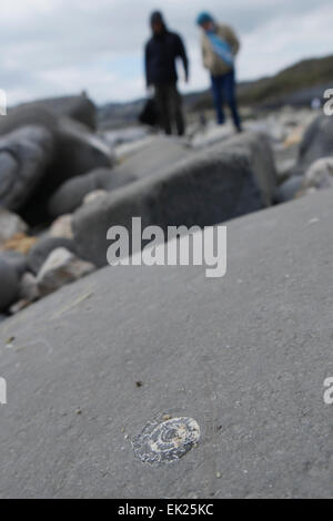 Ammonite fossil on beach at Charmouth with fossil hunters in the background - Stock Image
