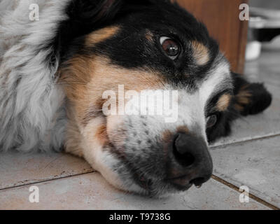 Border collie breed old tricolor dog tired or sick at rest attitude. - Stock Image
