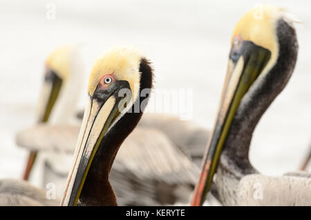 Pelican is a closeup head shot of a pelican in a groups of pelicans on the beach.f - Stock Image