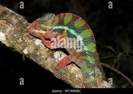Male Panther Chameleon Furcifer pardalis Madagascar - Stock Image