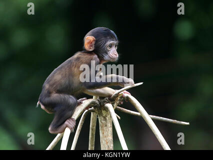 Young Barbary macaque or Barbary ape (Macaca sylvanus) climbing to the top of a tree - Stock Image