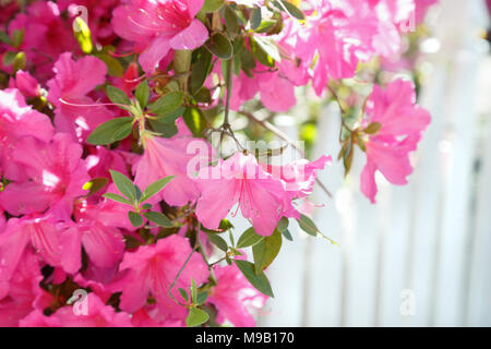 Rhododendron - Azalea with white picket fence - Stock Image