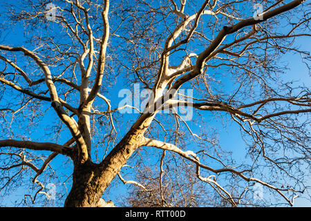 Deciduous tree with no leaves or foliage in Winter season against blue sky - Stock Image