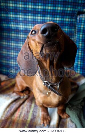 Up close portrait of a dachshund dog, seated on a passenger train, UK. - Stock Image
