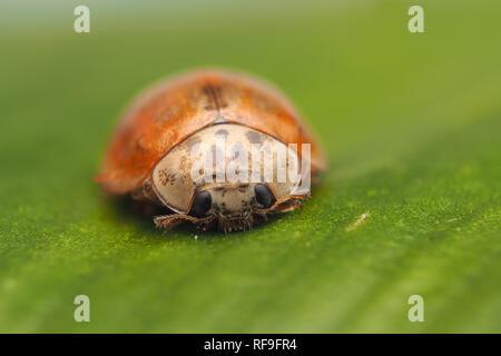 10-spot Ladybird (Adalia decempunctata) at rest on Hart's tongue fern in winter. Tipperary, Ireland - Stock Image