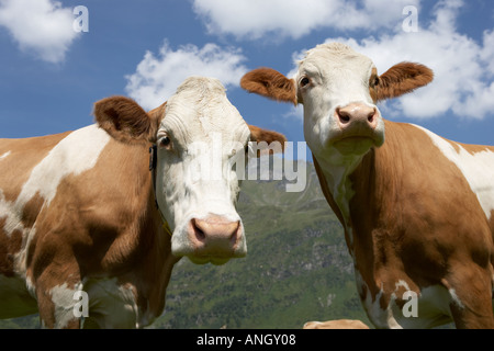 Two cows - Stock Image
