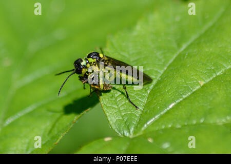 Green Sawfly consuming another small insect - Stock Image