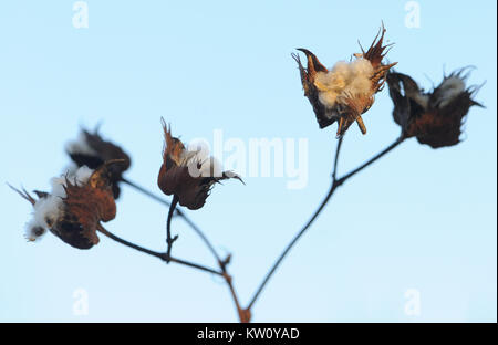 Seed heads of Darwin's cotton (Gossypium darwinii) with exposed fluffy, wind distributed seeds. This plant only - Stock Image