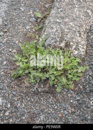 Weeds growing out of kerbside / roadside cracks in urban surroundings. Metaphor for the weedkiller Roundup / Glyphosate. - Stock Image