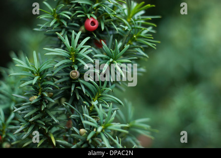 Close up of Yew Tree branch with red berries - Stock Image