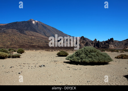 Mount Teide, Tenerife, Canary Islands. Teide Broom, Spartocytisus supranubius (Cytisus supranubius), Fabaceae. - Stock Image