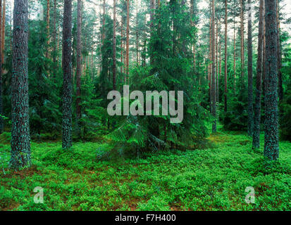 Agriculture pine forest in Uppland, Sweden - Stock Image