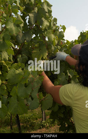 Photo Needs. Archival shots of people working on vineyards in Italy - Stock Image