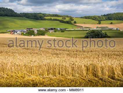 Agriculture and farming in the Monmouthshire landscape with a field of ripe wheat at Trostrey, Gwent, Wales, UK - summer - Stock Image