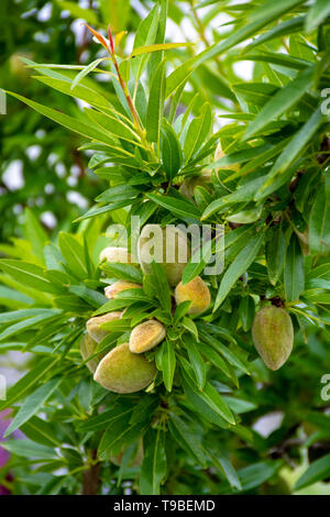 Young green almonds nuts riping on almond tree close up - Stock Image