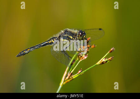 A black darter dragonfly with wings outstretched relaxes on the head of a grass stalk - Stock Image