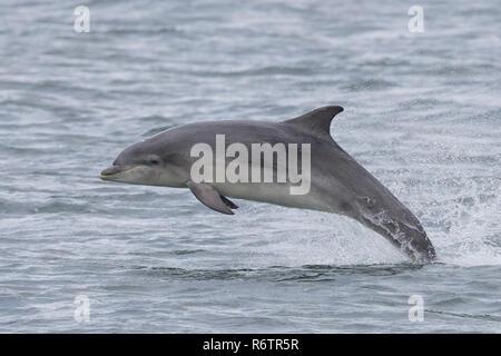 Bottlenose dolphin breaching - Stock Image