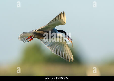 White-cheeked Tern in flight with a fish in it's beak flying in the Danube Delta - Stock Image