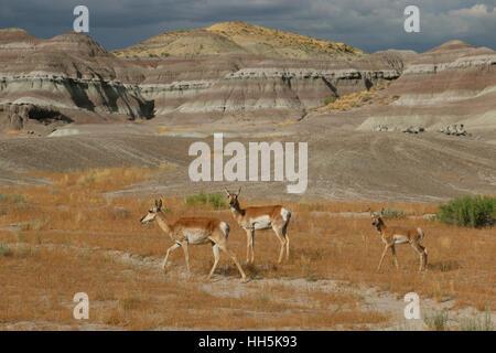 Pronghorn antelope Utah Great Basin desert - Stock Image