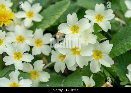 Primroses (Primula vulgaris) flowering amongst grass on a springtime bank in Devon - Stock Image
