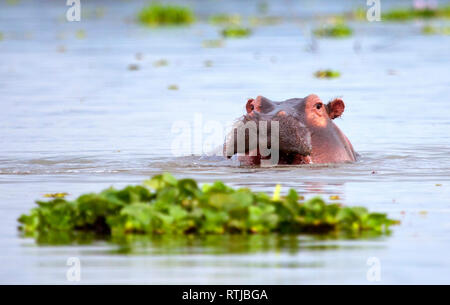 Hippos (Hippopotamus amphibius), Lake Naivasha, Nakuru County, Kenya - Stock Image
