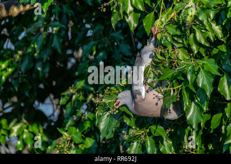 Wood pigeon ( Columba livia) hanging upside down eating winter berries from everygreen tree - Stock Image